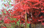 Chinese Red Maple