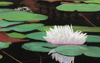 Waterlily / Lotus Flower